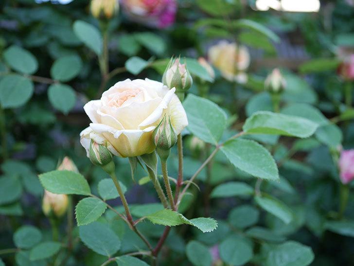バスシーバ(Bathsheba)の花が増えてきた。ツルバラ。2021年-073.jpg