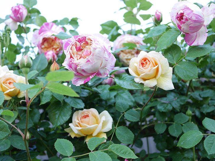 バスシーバ(Bathsheba)の花が増えてきた。ツルバラ。2021年-074.jpg