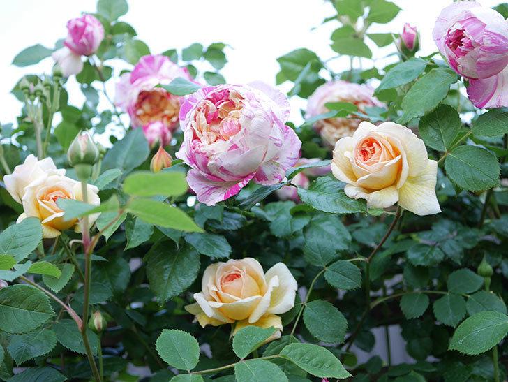 バスシーバ(Bathsheba)の花が増えてきた。ツルバラ。2021年-075.jpg
