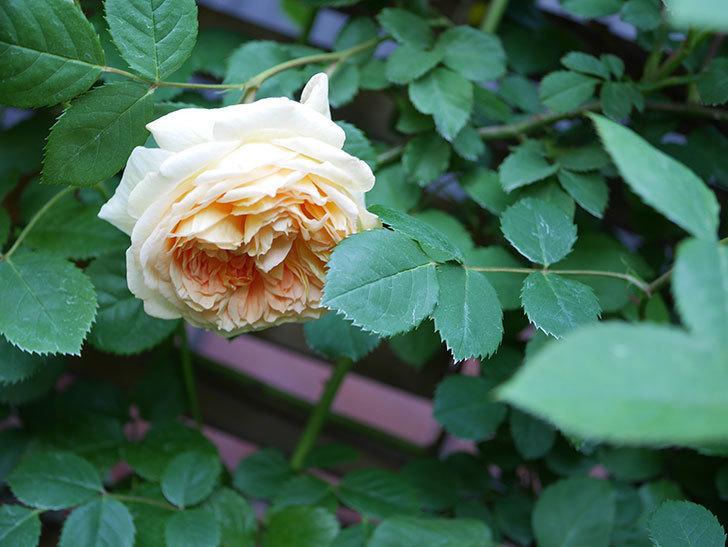 バスシーバ(Bathsheba)の花が増えてきた。ツルバラ。2021年-076.jpg