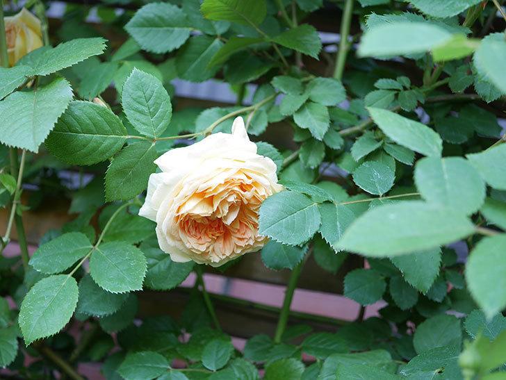 バスシーバ(Bathsheba)の花が増えてきた。ツルバラ。2021年-077.jpg
