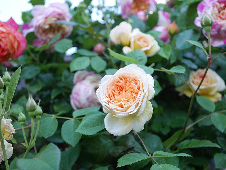 バスシーバ(Bathsheba)の花が増えてきた。ツルバラ。2021年-079.jpg