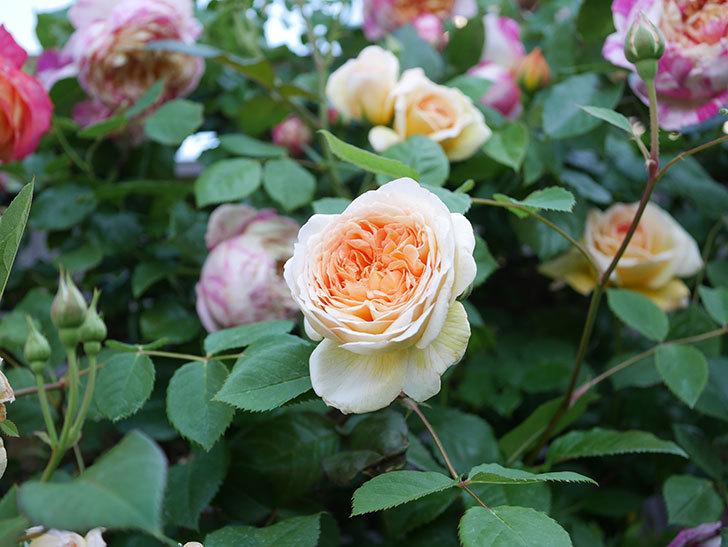 バスシーバ(Bathsheba)の花が増えてきた。ツルバラ。2021年-080.jpg