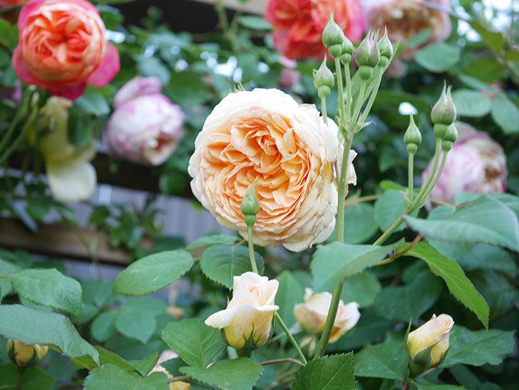 バスシーバ(Bathsheba)の花が増えてきた。ツルバラ。2021年-081.jpg