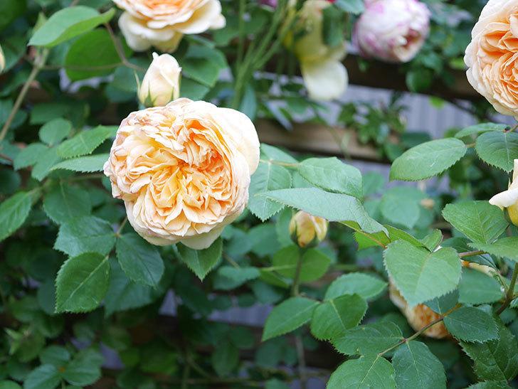 バスシーバ(Bathsheba)の花が増えてきた。ツルバラ。2021年-082.jpg