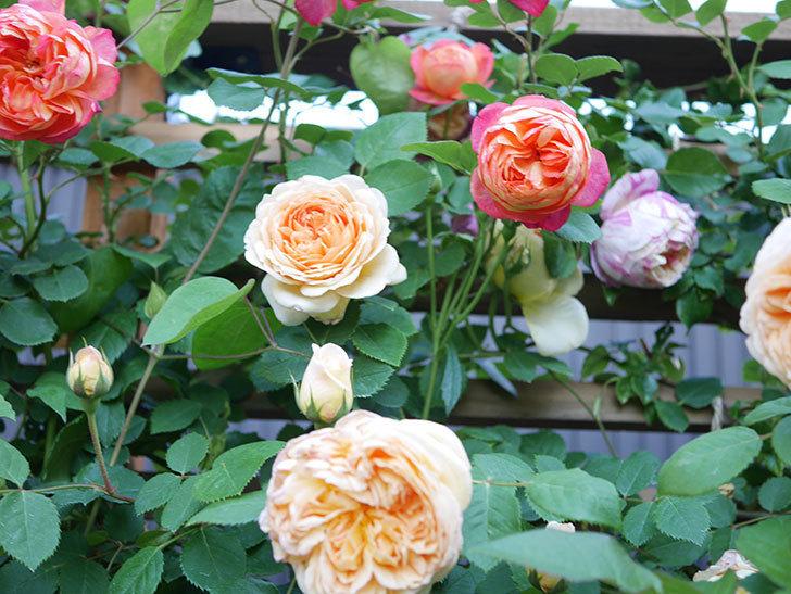 バスシーバ(Bathsheba)の花が増えてきた。ツルバラ。2021年-083.jpg