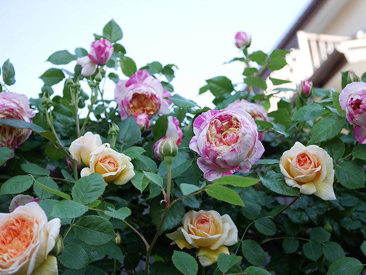 バスシーバ(Bathsheba)の花が増えてきた。ツルバラ。2021年-084.jpg