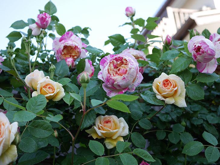 バスシーバ(Bathsheba)の花が増えてきた。ツルバラ。2021年-085.jpg