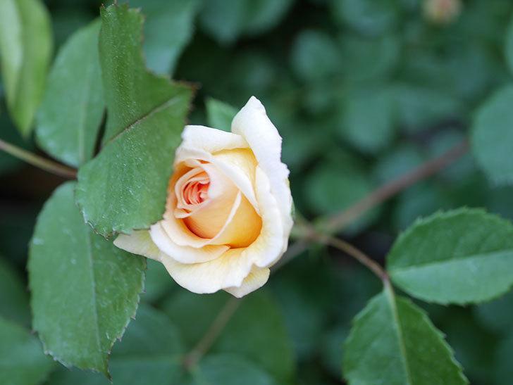 バスシーバ(Bathsheba)の花が増えてきた。ツルバラ。2021年-086.jpg
