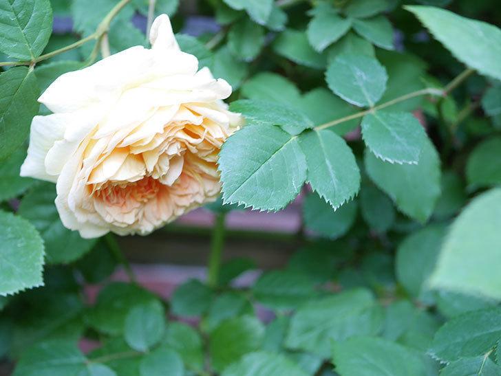 バスシーバ(Bathsheba)の花が増えてきた。ツルバラ。2021年-087.jpg