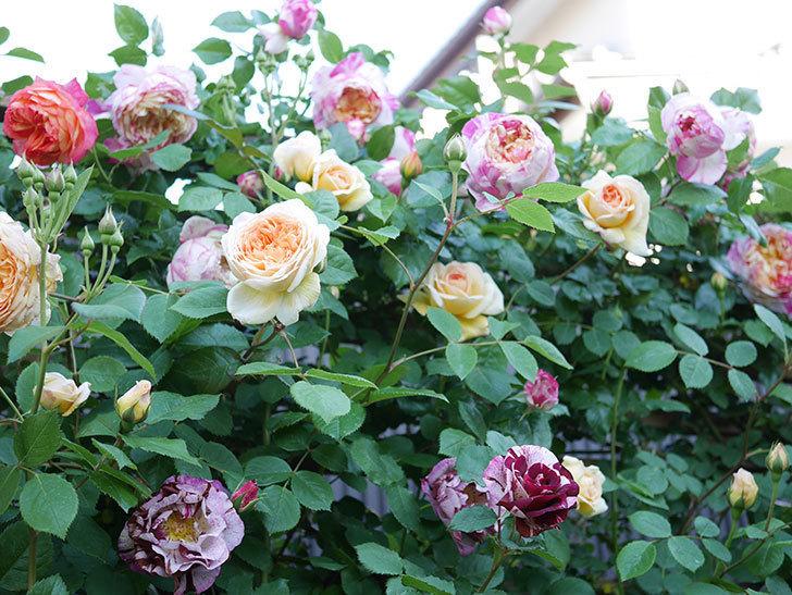 バスシーバ(Bathsheba)の花が増えてきた。ツルバラ。2021年-089.jpg