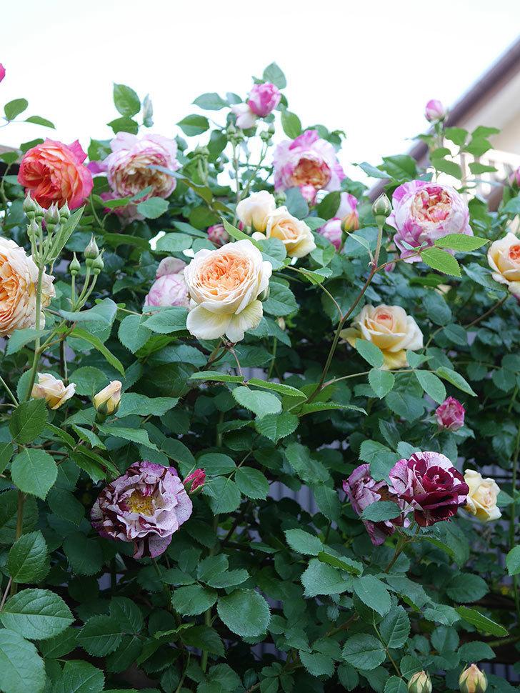 バスシーバ(Bathsheba)の花が増えてきた。ツルバラ。2021年-090.jpg