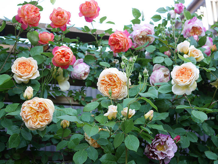 バスシーバ(Bathsheba)の花が増えてきた。ツルバラ。2021年-091.jpg
