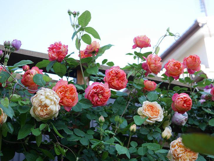 バスシーバ(Bathsheba)の花が増えてきた。ツルバラ。2021年-092.jpg