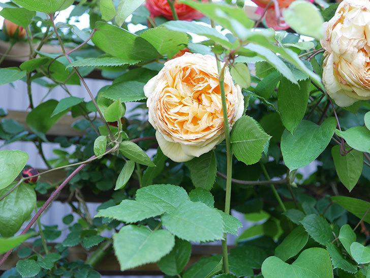 バスシーバ(Bathsheba)の花が増えてきた。ツルバラ。2021年-093.jpg