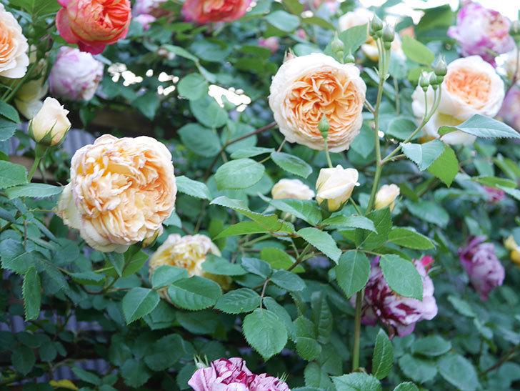 バスシーバ(Bathsheba)の花が増えてきた。ツルバラ。2021年-094.jpg