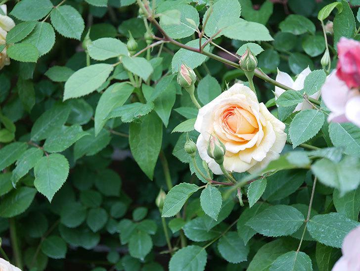 バスシーバ(Bathsheba)の花が増えてきた。ツルバラ。2021年-095.jpg