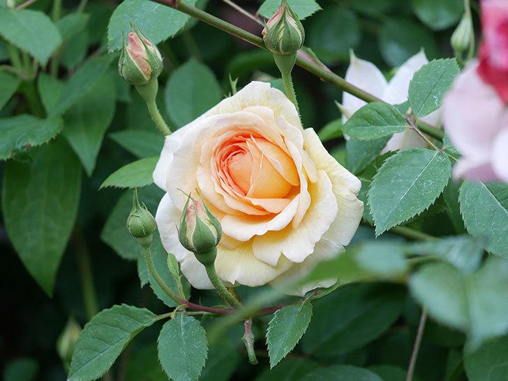 バスシーバ(Bathsheba)の花が増えてきた。ツルバラ。2021年-096.jpg