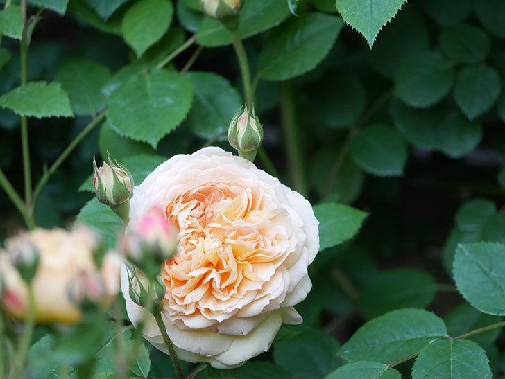 バスシーバ(Bathsheba)の花が増えてきた。ツルバラ。2021年-097.jpg