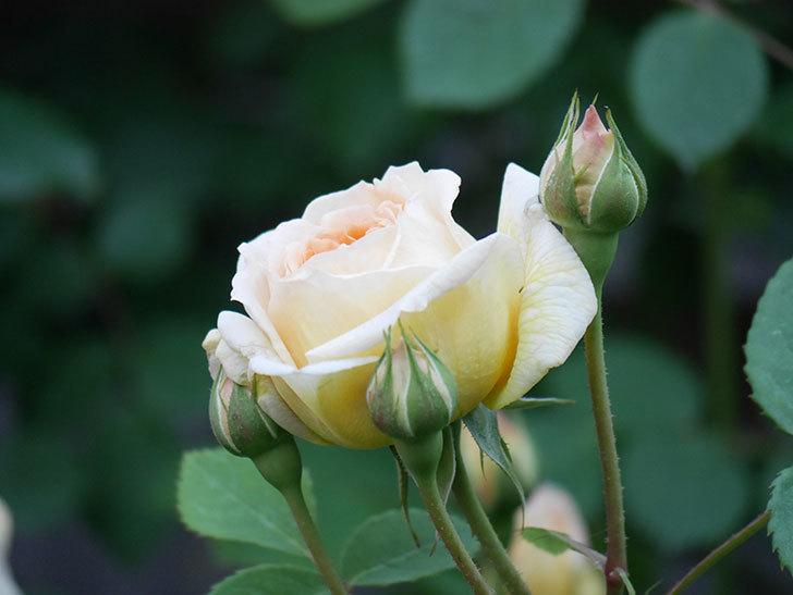 バスシーバ(Bathsheba)の花が増えてきた。ツルバラ。2021年-098.jpg