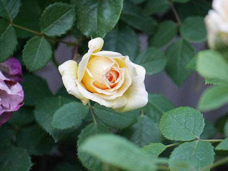 バスシーバ(Bathsheba)の花が増えてきた。ツルバラ。2021年-099.jpg