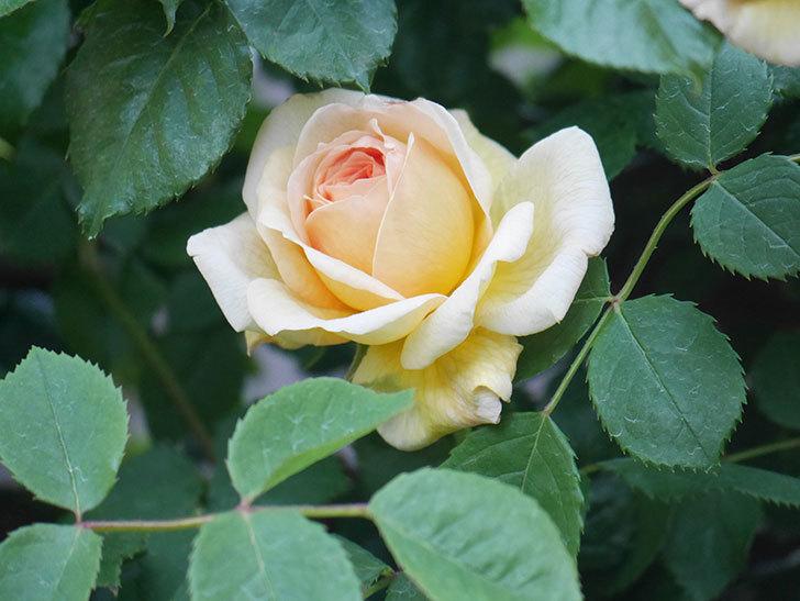 バスシーバ(Bathsheba)の花が増えてきた。ツルバラ。2021年-100.jpg