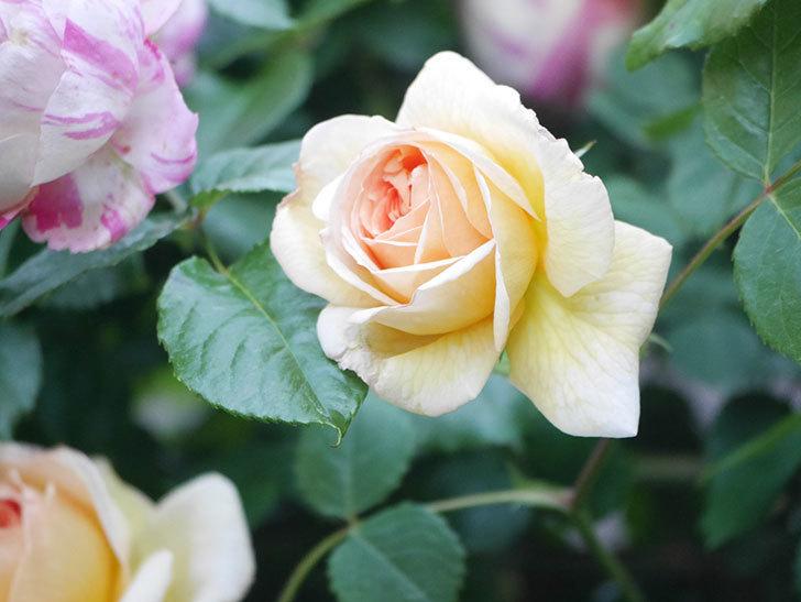 バスシーバ(Bathsheba)の花が増えてきた。ツルバラ。2021年-101.jpg
