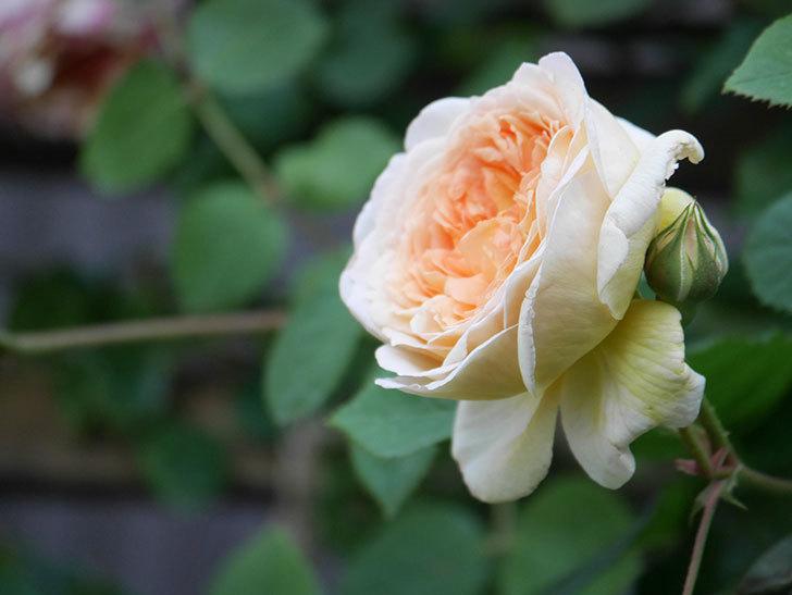 バスシーバ(Bathsheba)の花が増えてきた。ツルバラ。2021年-102.jpg