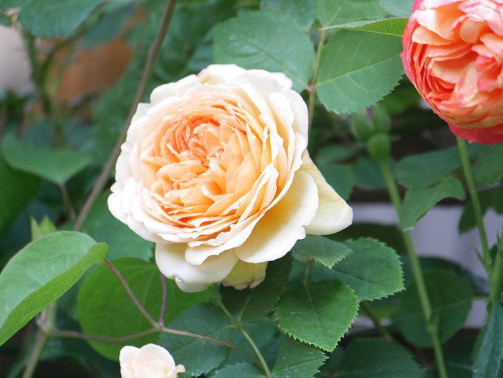 バスシーバ(Bathsheba)の花が増えてきた。ツルバラ。2021年-103.jpg
