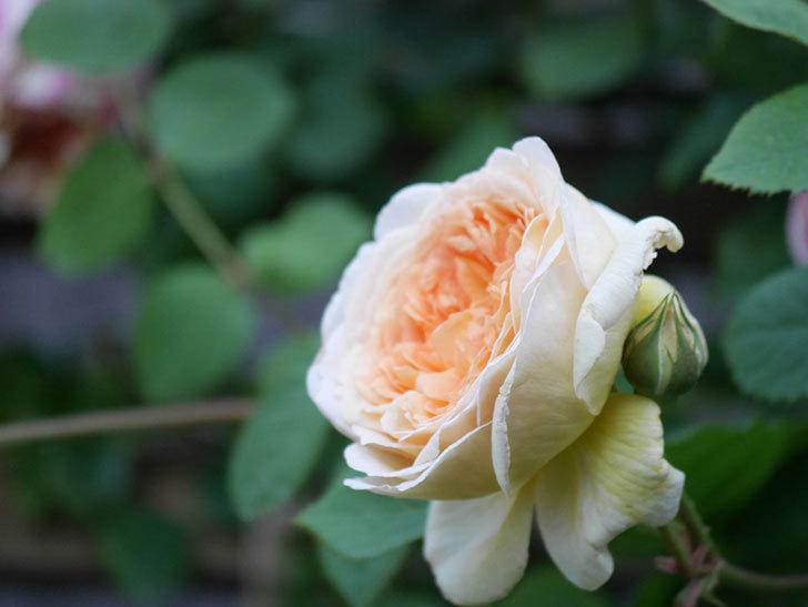 バスシーバ(Bathsheba)の花が増えてきた。ツルバラ。2021年-104.jpg
