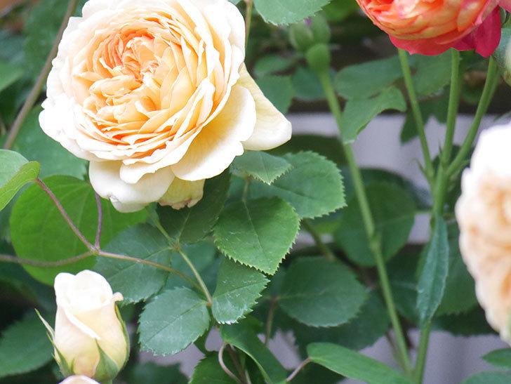 バスシーバ(Bathsheba)の花が増えてきた。ツルバラ。2021年-105.jpg