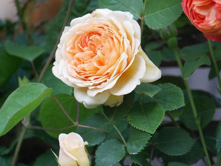 バスシーバ(Bathsheba)の花が増えてきた。ツルバラ。2021年-106.jpg