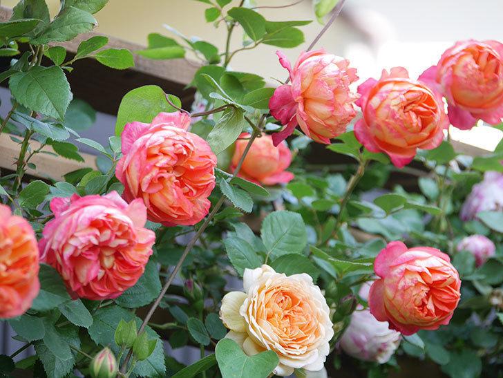 バスシーバ(Bathsheba)の花が増えてきた。ツルバラ。2021年-108.jpg