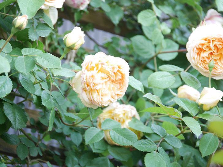 バスシーバ(Bathsheba)の花が増えてきた。ツルバラ。2021年-109.jpg