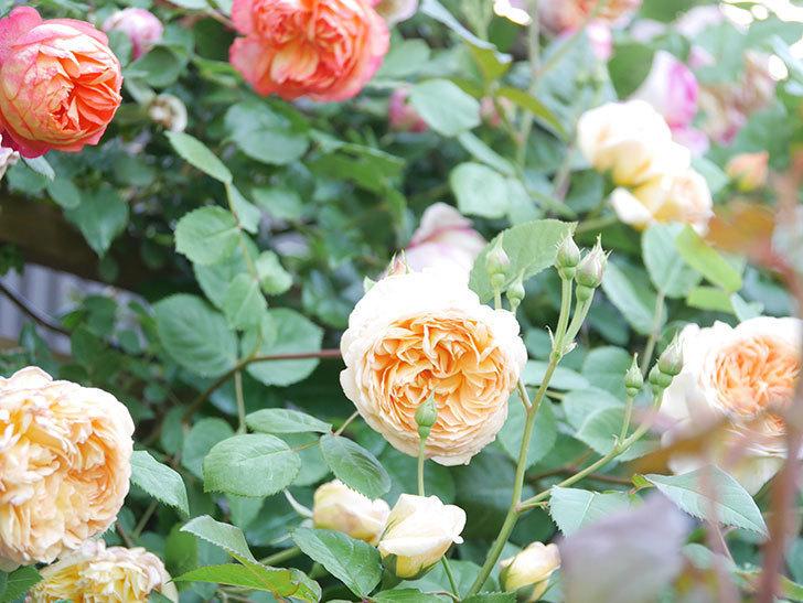 バスシーバ(Bathsheba)の花が増えてきた。ツルバラ。2021年-110.jpg