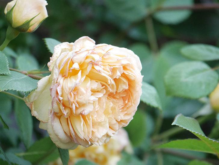 バスシーバ(Bathsheba)の花が増えてきた。ツルバラ。2021年-111.jpg
