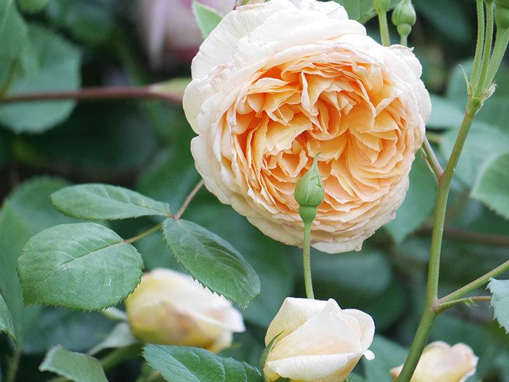 バスシーバ(Bathsheba)の花が増えてきた。ツルバラ。2021年-112.jpg