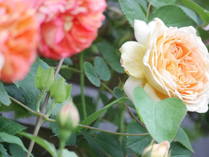 バスシーバ(Bathsheba)の花が増えてきた。ツルバラ。2021年-113.jpg