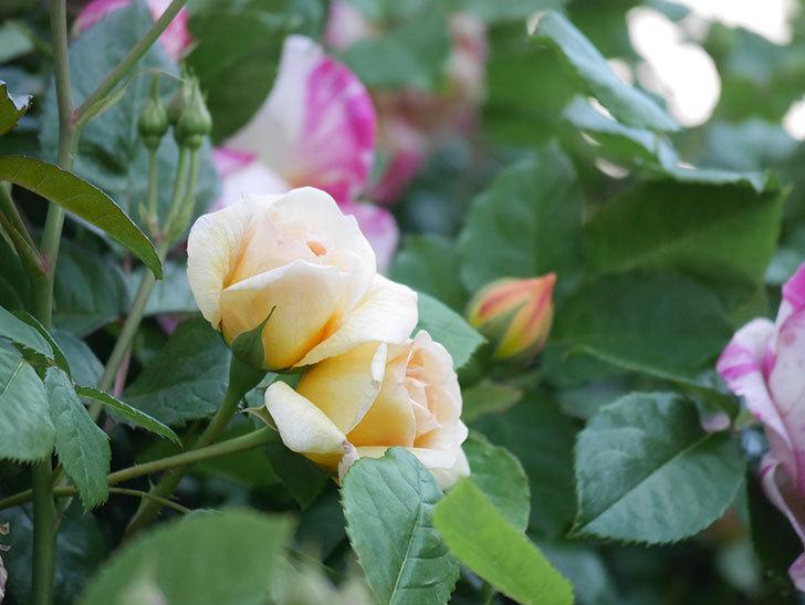 バスシーバ(Bathsheba)の花が増えてきた。ツルバラ。2021年-114.jpg