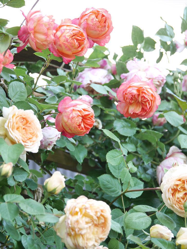 バスシーバ(Bathsheba)の花が増えてきた。ツルバラ。2021年-115.jpg