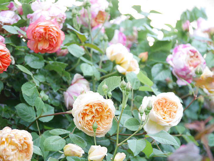 バスシーバ(Bathsheba)の花が増えてきた。ツルバラ。2021年-116.jpg