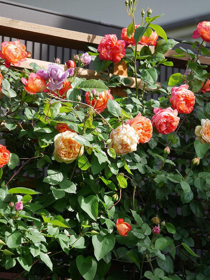 バスシーバ(Bathsheba)の花が増えてきた。ツルバラ。2021年-117.jpg