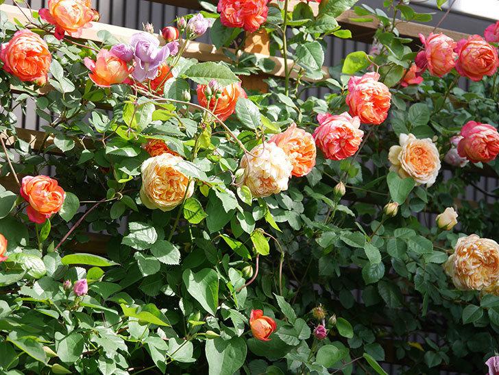 バスシーバ(Bathsheba)の花が増えてきた。ツルバラ。2021年-120.jpg