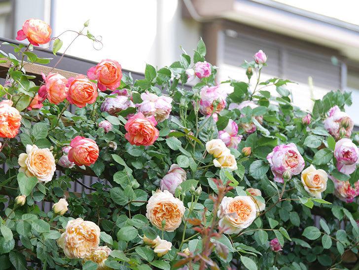バスシーバ(Bathsheba)の花が増えてきた。ツルバラ。2021年-121.jpg