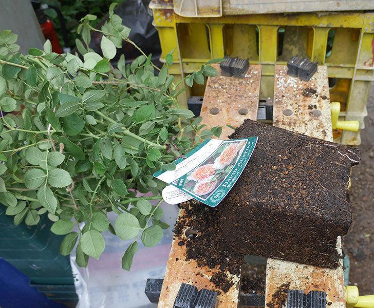 バスシーバ(ツルバラ)の大苗(鉢植え苗)をロゼアスクエア-330型に植え替えた。2019年-1.jpg