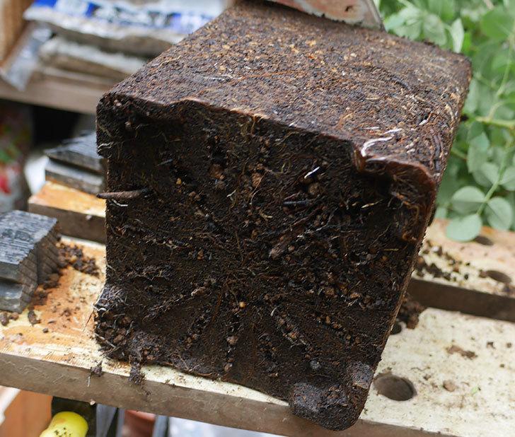 バスシーバ(ツルバラ)の大苗(鉢植え苗)をロゼアスクエア-330型に植え替えた。2019年-3.jpg