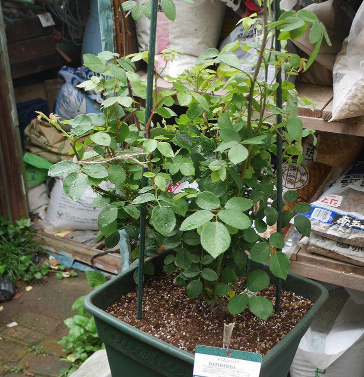 バスシーバ(ツルバラ)の大苗(鉢植え苗)をロゼアスクエア-330型に植え替えた。2019年-4.jpg