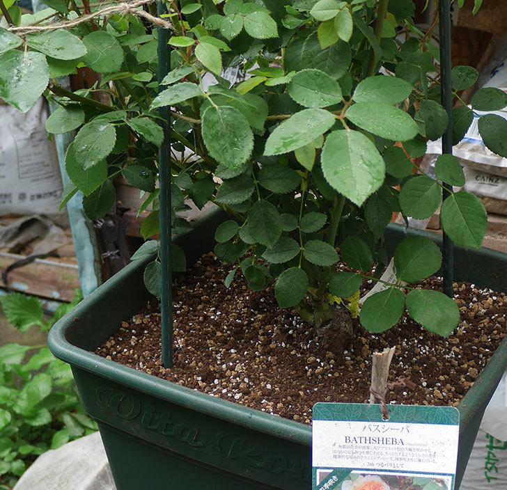バスシーバ(ツルバラ)の大苗(鉢植え苗)をロゼアスクエア-330型に植え替えた。2019年-5.jpg