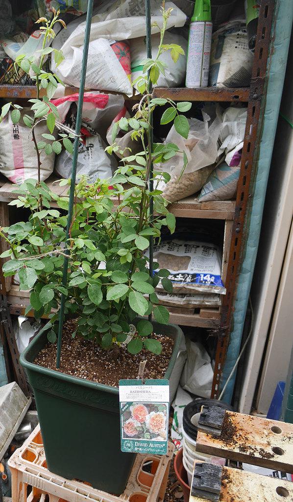 バスシーバ(ツルバラ)の大苗(鉢植え苗)をロゼアスクエア-330型に植え替えた。2019年-6.jpg