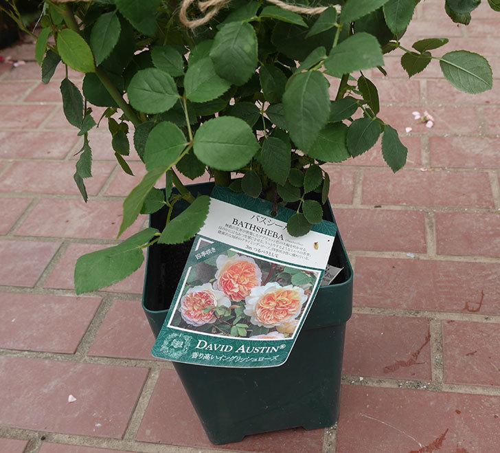 バスシーバ(ツルバラ)の大苗(鉢植え苗)を楽天のバラの家で買った。2019年-1.jpg